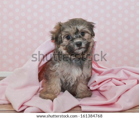 Sweet Little Havanese puppy sitting in a pink blanket, with a pink poke a dot background.