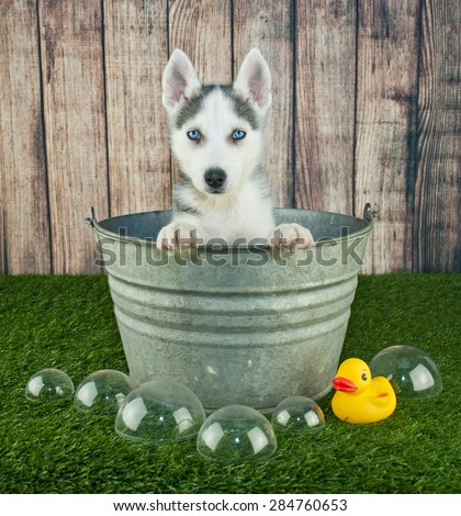 Sweet little Husky puppy sitting in a bath tub outdoors with bubbles and a rubber ducky around him.
