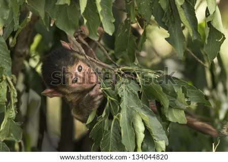 sweet little monkey plays - stock photo