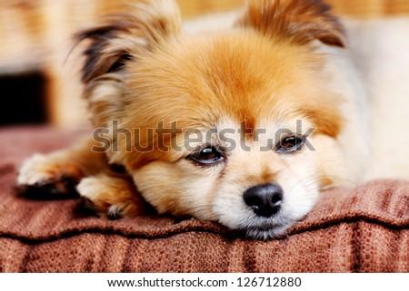 Sweet little Pomeranian rests - stock photo