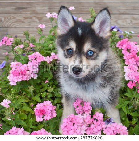Sweet little Pomsky puppy sitting outdoors with flowers around her, - stock photo