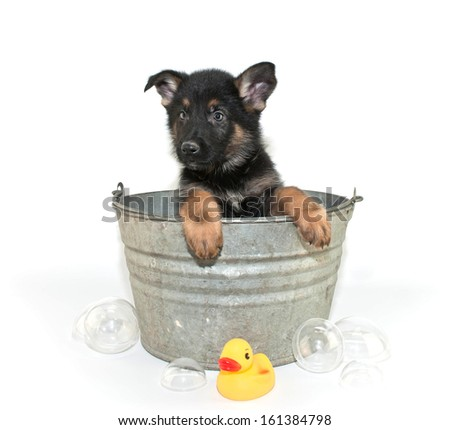 Sweet little puppy in a bath tub with bubbles and a rubber ducky on a white background.