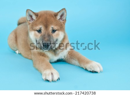 Sweet little Shiba Inu puppy laying on a blue background with copy space.