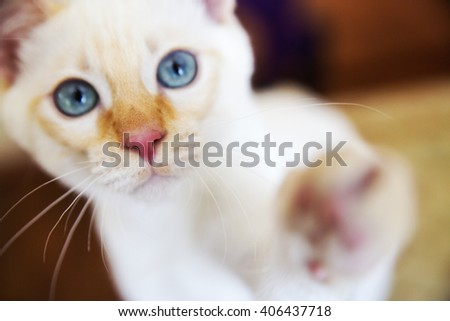 Sweet little white Mekong bobtail cat portrait