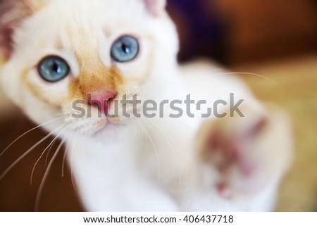 Sweet little white Mekong bobtail cat portrait - stock photo