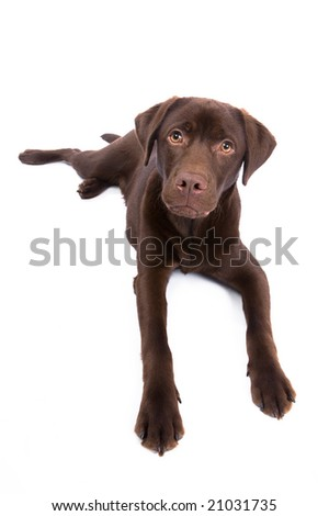 sweet looking chocolate brown labrador retriever dog. Isolated on white.