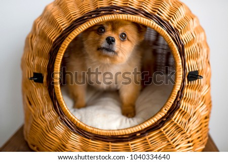 Simple Pomeranian Canine Adorable Dog - stock-photo-sweet-lovely-adorable-new-born-little-pomeranian-furry-puppy-with-kind-muzzle-and-innocent-eyes-1040334640  You Should Have_861486  .jpg