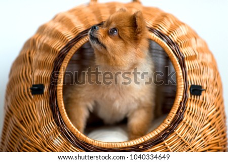 Simple Pomeranian Canine Adorable Dog - stock-photo-sweet-lovely-adorable-new-born-little-pomeranian-furry-puppy-with-kind-muzzle-and-innocent-eyes-1040334649  You Should Have_861486  .jpg