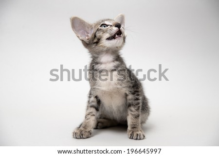 Sweet meowing grey tabby oriental kitten on a light gray paper