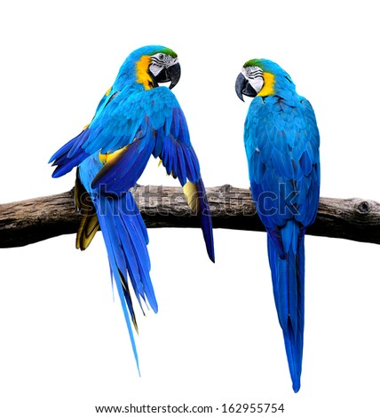 Sweet of Blue and Gold Macaw bird in love moment isolated on white background - stock photo