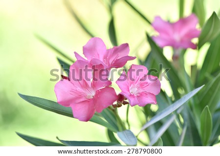 Sweet Oleander, Rose bay. (Nerium oleander L.) plants with medicinal properties. - stock photo
