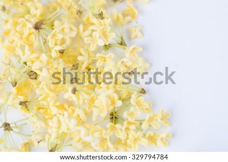 sweet osmanthus blooming in the autumn�¯�¼? studio macro shot  - stock photo