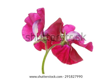 Sweet pea flowers isolated against white - stock photo