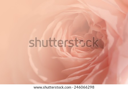 Sweet peach rose, Abraham Darby Rose, English Rose, blurred style for soft background. - stock photo