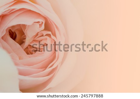 Sweet peach rose, Abraham Darby Rose, English Rose, close up, nature background. - stock photo