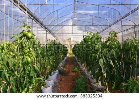 Sweet Pepper  in Screen House - stock photo