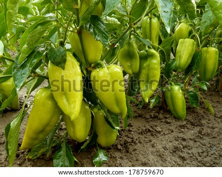 sweet peppers growing in a garden - stock photo