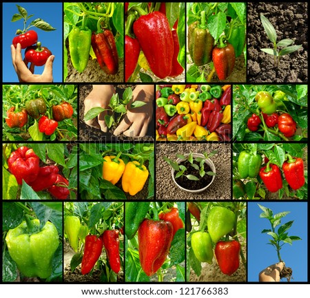 sweet peppers of different varieties collection