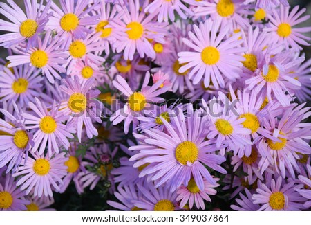 sweet pink asters flowers blooming background. pink flowers. - stock photo