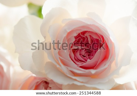 Sweet pink rose, Wedgwood rose, English rose, close up for the background. - stock photo