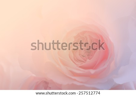Sweet pink rose, Wedgwood rose, English rose, close up for the soft background. - stock photo