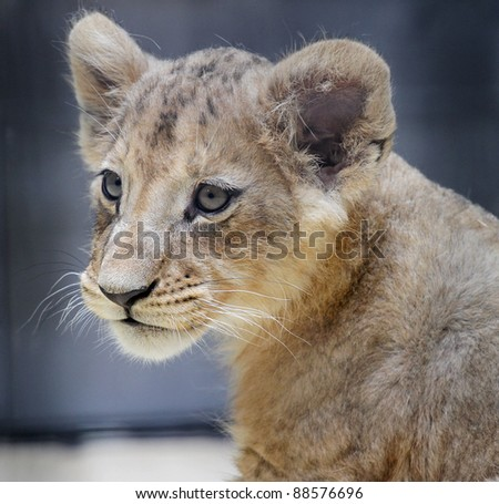 Sweet portrait of a lion baby face - stock photo