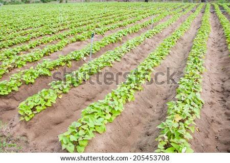 sweet potato crop - stock photo