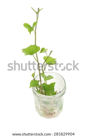 Sweet potato germination technique in a glass jar isolated on white background - stock photo