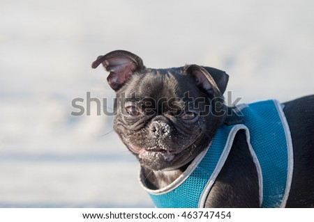 Sweet pug with harness on the beach