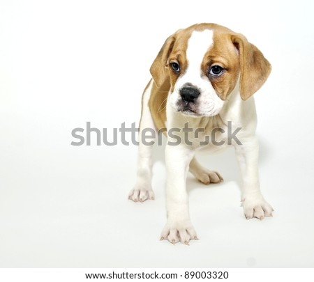 Sweet puppy with copy space on a white background.