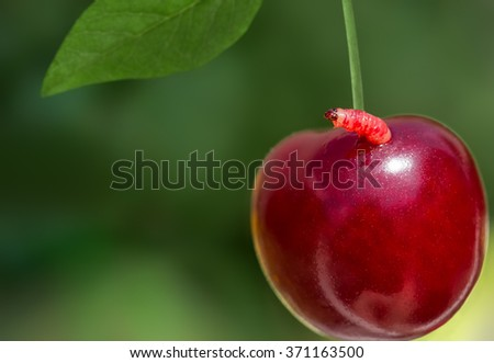 sweet ripe cherry with a worm on a green bokeh background, closeup - stock photo