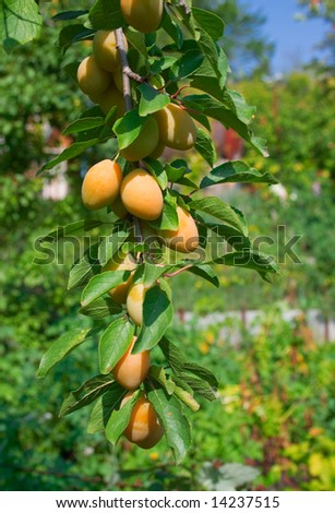 Sweet ripe yellow plum on a branch against the blue sky and green plants