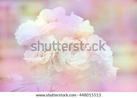 Sweet rose soft focus blurred in pastel colors for background