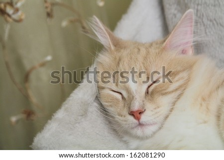 sweet sleeping for a siberian kitten
