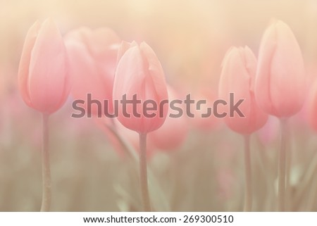 Sweet soft Tulips and filtered image. Flower background. - stock photo