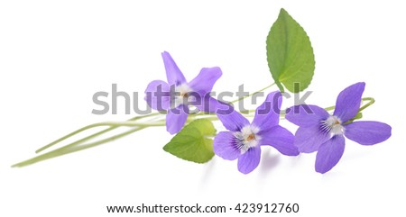 sweet violet, viola  isolated on white background - stock photo