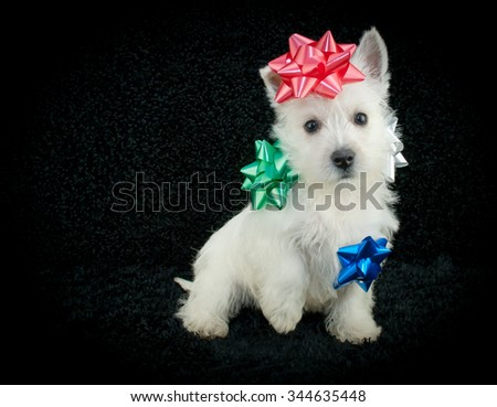 Sweet West Highland Terrier puppy sitting on a black background with Christmas bows stuck on him, with copy space.