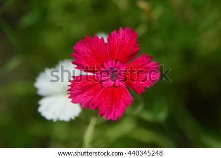 Sweet william flower - stock photo