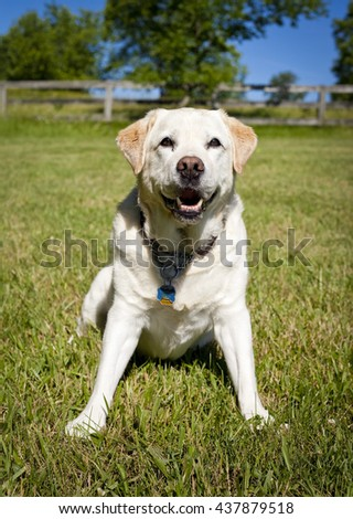 Sweet yellow Labrador retriever sitting on lawn with pretty background looking at viewer - stock photo