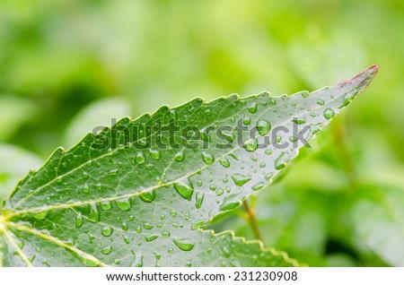 Sweetgum leaf - stock photo