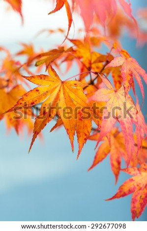 Sweetgum leaves in autumn colors against blue sky - stock photo