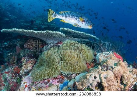 Sweetlips and other fish swimming around a colorful tropical reef