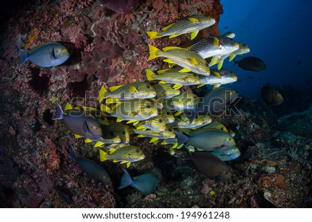 Sweetlips and surgeonfish aggregate over a current-swept coral reef in Komodo, Indonesia. This area is deep within the Coral Triangle and is known for its high biological diversity. - stock photo