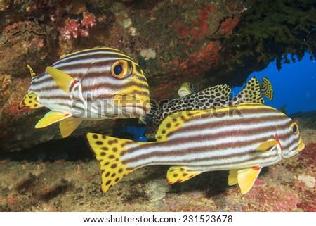 Sweetlips fish - stock photo