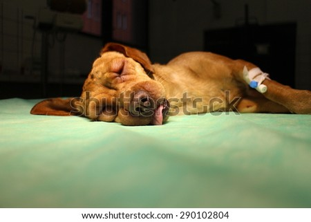 Swelling eyelid and syringe in limb by vizsla dog on operating table - stock photo