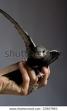 swift on the arm - stock photo