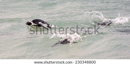 Swimming African Penguins.The African penguin (Spheniscus demersus), also known as the jackass penguin and black-footed penguin is a species of penguin, confined to southern African waters.  - stock photo