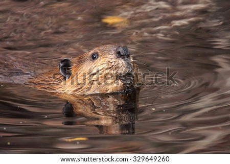 Swimming beaver, Castor canadensis, in murky lake water looking up at camera