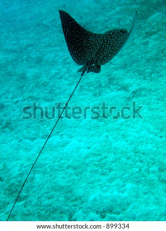 Swimming Eagle Ray in the Caribbean sea