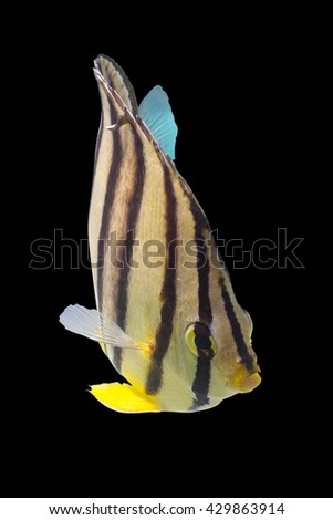 swimming fish/Butterflyfish/tropical fish/eight banded fish/lovely baby fish/fish isolated on black background - stock photo